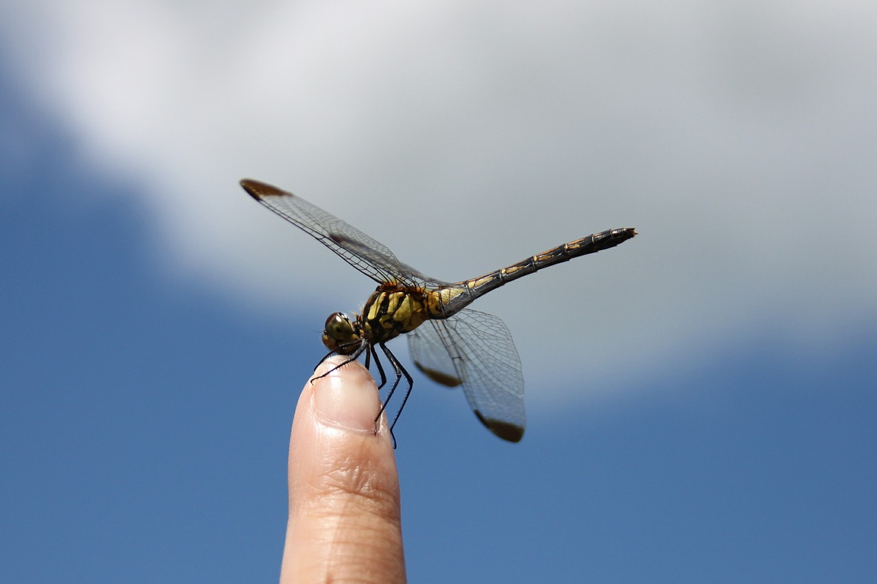 dragonfly-451756_1280
