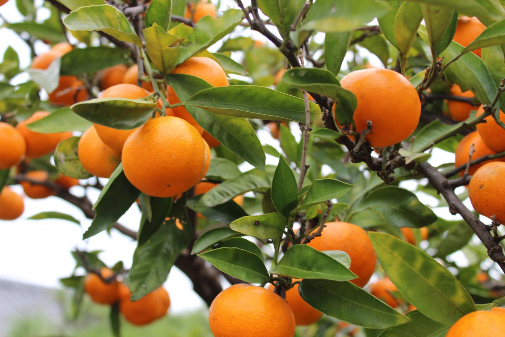 1月が旬の美味しい果物まとめ!みかんも工夫次第で飽きずに食べられます