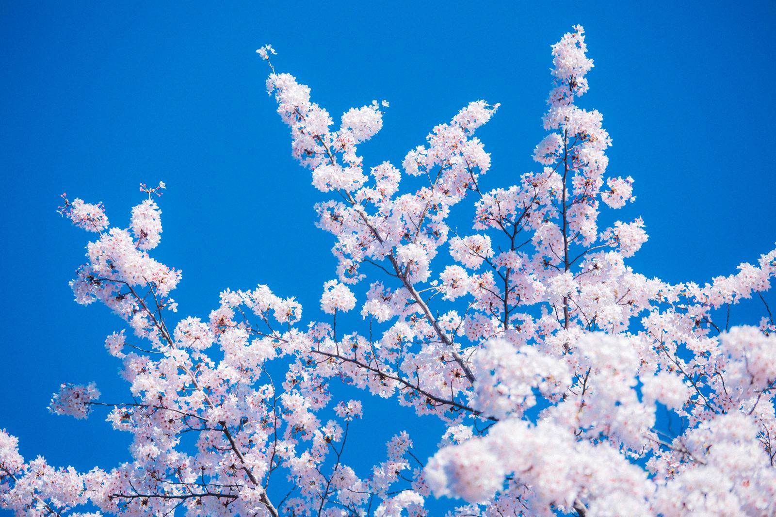 「入学」といえば何を考える?曲、イラスト、エピソード、親戚、春、4月、出会いなど連想できることまとめ
